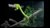 Green Tree Python Cage Setup Cage Morelia Viridis Coil and Yawning