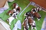Kooikerpups Jente: eerste keer bijvoeding, pups bijna 3 weken 31-3-2014