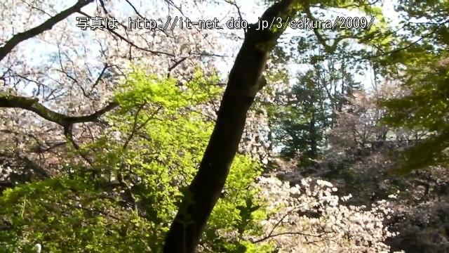 井の頭公園の桜 (41) 2009 No.17