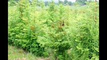 Do You Need a Fast Growing Seedling    Try Growing  Dawn Redwoods