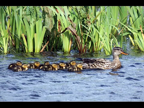 Gadwall Dabbling Ducks