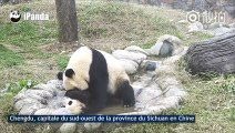 Adorable : ce bébé panda refuse de prendre son bain !