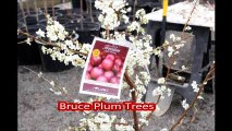 Fruit trees for small spaces... The Bruce Plum Trees