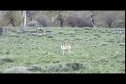 REAL FACES: A NEAR BY COYOTE NEARLY ATTACKS VIDEOGRAPHER'S NEAR DEATH!!!