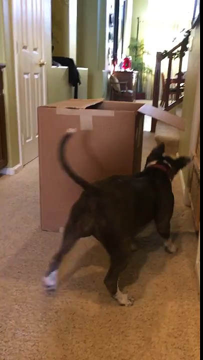 Dog jumps into box for treats