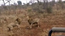 Male Lions gone Mad with each other