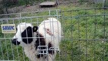 Etoile du Berger au sein de la meute de la Plaine d'Astrée - Patou et Beauceron découvrent le mouton à la plaine d'astré
