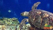 SEA TURTLES | Tortugas de Mar. Animals for children. Kids videos. Kindergarten - Preschool learning
