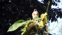 Distelfink  (Carduelis carduelis) Goldfinch