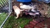Cette oie et ce chien sont les meilleurs amis du monde depuis qu'ils sont tout petit