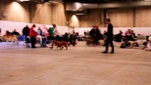NUCH SEU(U)CH Adoreas Red Caprice at DKK Herning 11