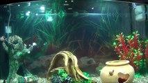 acquario 4 pesci rossi