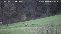 Fallow Deers Fight