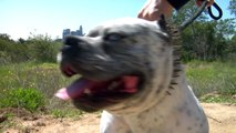 WHITE DEVIL - MOST EXTREME LOOKING PITBULL DOG