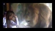"""Así reaccionó este león cuando una niña le dio un """"beso"""""""