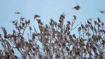 Common Starling, Storno comune (Sturnus vulgaris)
