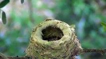Hummingbird feeding newly hatched baby 2013