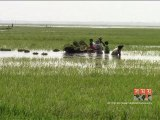 মৌলভীবাজারে উজানের ঢলে তলিয়ে গেছে ফসলি জমি