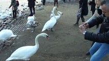 Cisne de Praga (Swan Prague)