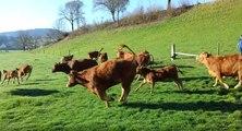 Des vaches folles de joie en retrouvant leurs pâturages font rire Internet