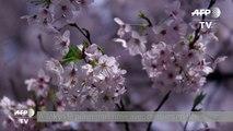 Les cerisiers sont en fleurs à Tokyo
