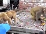 Dog And Monkey Funny Videos - Monkey Vs Dog Fight Funny Clips