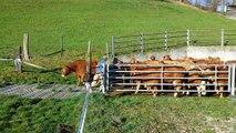 Très excitées, ces vaches retrouvent enfin l'herbe fraîche. A mourir de rire