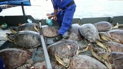 Policía de Bali incauta 45 tortugas marinas de cazadores ilegales