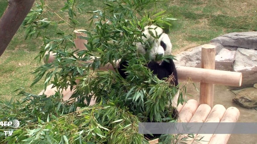 Chinese pandas gifted by President Xi unveiled in South Korea | Godialy.com