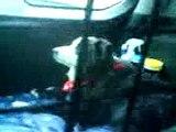 My dog in the car. Half asleep