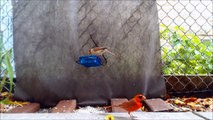 Male Cardinal Jumps on Camera