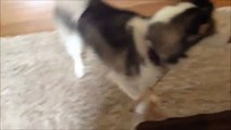 Première rencontre entre un husky et un bébé. Trop mignon