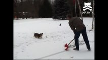 Adorable dog does backflips in snow