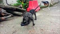 Perros de Presa Canarios puppies 10 weeks