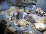 hamsters bebes de mandy y chavo 13 days