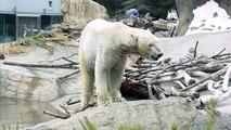 Polar Bear Dancing In San Diego Zoo