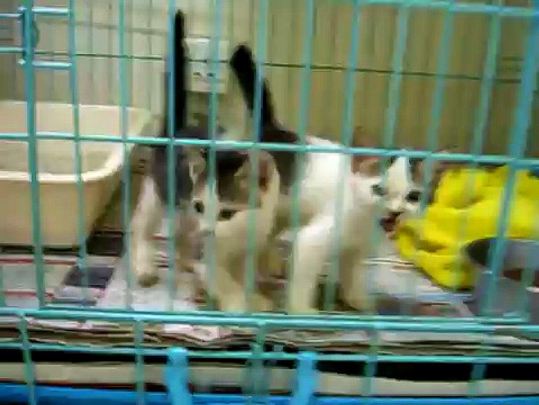 foster kitten trios