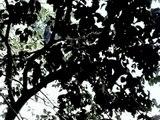 Mono cara blanca / white face monkey Costa Rica