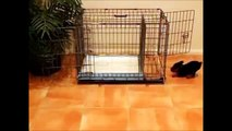 How To Potty Train A Jack Chi Puppy - ChiRussell House Training Tips - Chi Russell Puppies