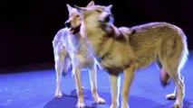 Nackt zum ESC: Ivan tanzt mit den Wölfen