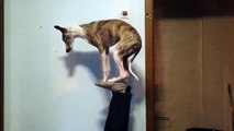Viral Video - Dog shows amazing balancing tricks
