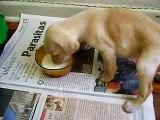 Pingo - Bebê labrador