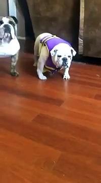 Cute Bulldog Hates Life Vest -Bulldog Hates Life Vest