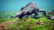 Découvrez l'Iguane marin des îles Galapagos !