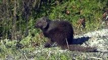 Cape Mongoose  - Filmed by Greg Morgan