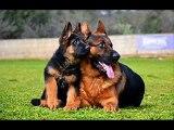 chien berger allemand iva de( 1 a 5 mois)