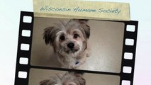 Troy a Lhasa Apso and Shih Tzu mix at the Wisconsin Humane Society