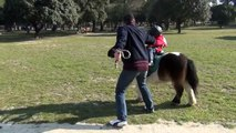 VALENTIN le jeune poney sauvage avec Valentin en rodéo 19/02/2013 Figuerolles