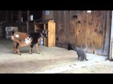Goats Meet the Kittens