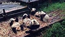 Panda Bear - A Funny Panda And Cute Panda Videos Compilation -- NEW